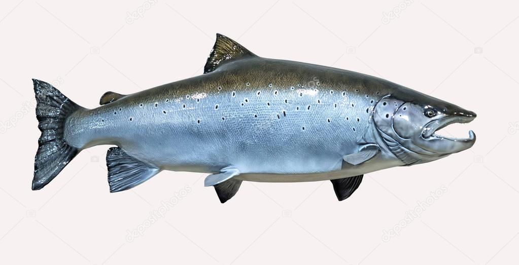 Mounted Atlantic Salmon