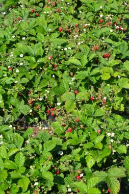 The berries and flowers are remontant strawberries.