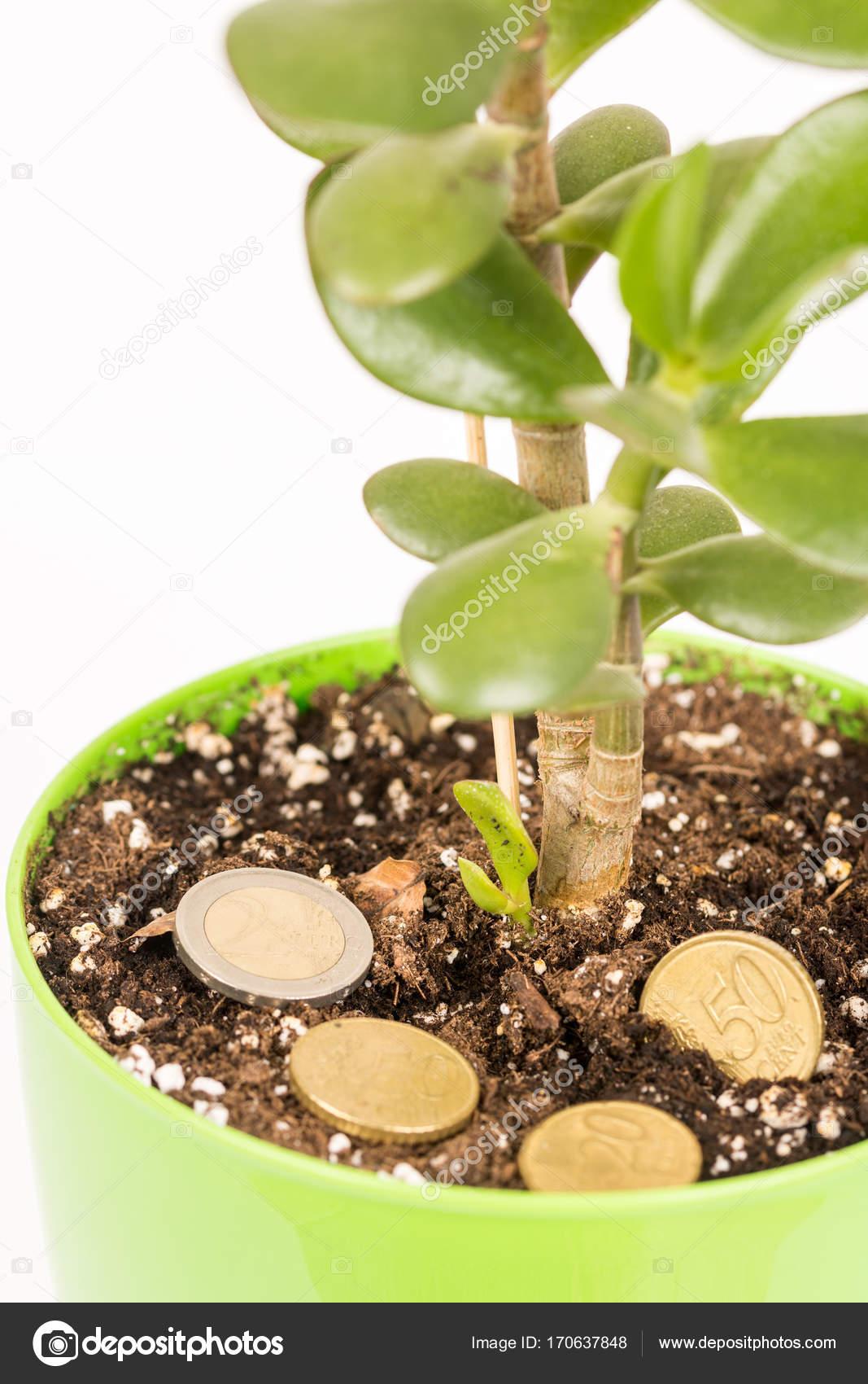Feng Shui Argent feng shui argent arbre ou crasula ovata avec pièces métalliques dans