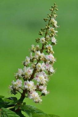 Horse chestnut (aesculus hippocastanum) blossom