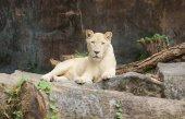 Photo Female white lion lying on the rock