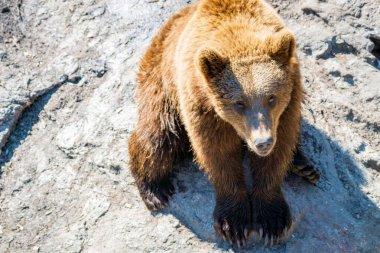 """Картина, постер, плакат, фотообои """"крупный план животного портрета бурого медведя / ursus arctos на открытом воздухе в пустыне. дикая природа и хищник ."""", артикул 323412238"""