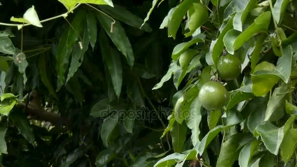 4 k friss éretlen passiógyümölcs természet fa magas vitamin- és tápanyag-összetételre szerves trópusi gyümölcs a legjobb egészségügyi élelmiszer-hely másolás