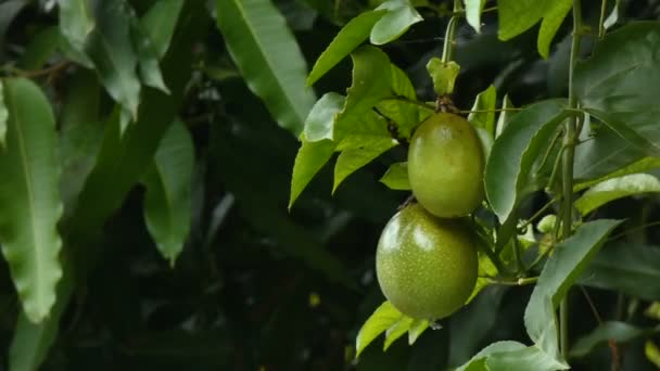 4K Fresh unripe passion fruit on nature wood High vitamin and nutrition Organic Tropical fruit for best health food