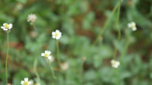 Platzieren Sie Dolly Folie trockene weiße kleine Blume in der Natur