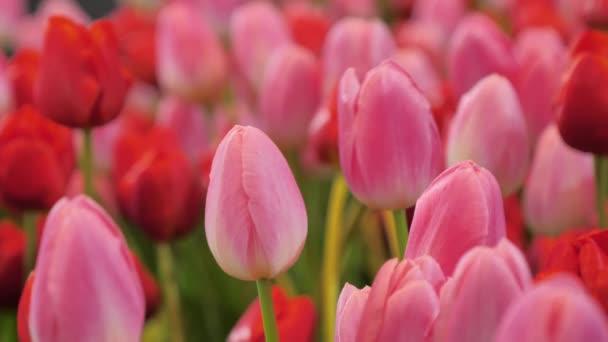 Detailní záběr příroda skupina kvetoucího tulipánového květu v tulipánovém poli vybrat zaostřit mělkou hloubku pole