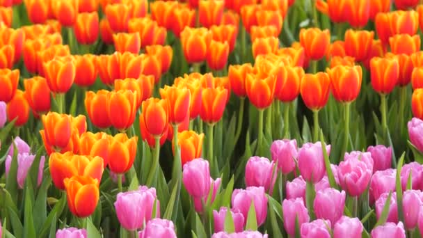Close-up shot nature a group of blooming tulip flower in the tulip field select focus shallow depth of field