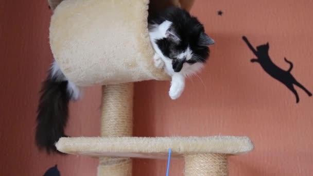 schwarz-weiße niedliche aktive Katze, die mit einem Spielzeug im Katzenhaus spielt.