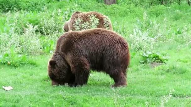Dva hnědí medvědi jíst trávu