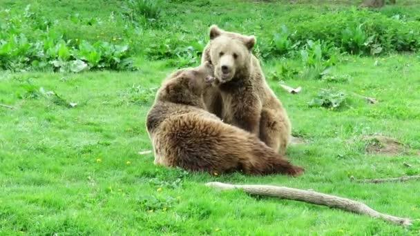 Dvě mláďata medvěd hnědý hraje