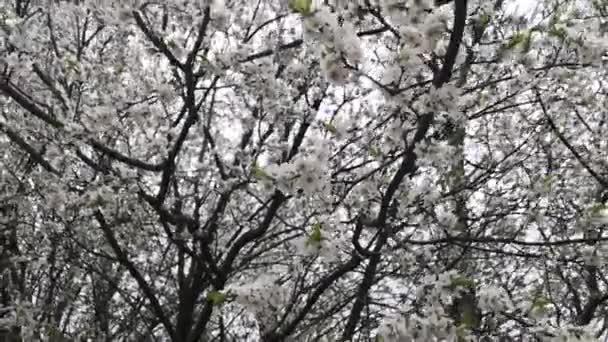 Větve stromu jsou pokryty malými bílými květy.
