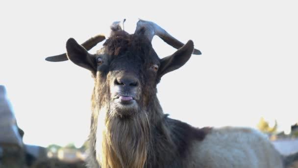 Legrační koza s rohy detailně. Zvíře ukazuje jazyk. Zpomalený pohyb