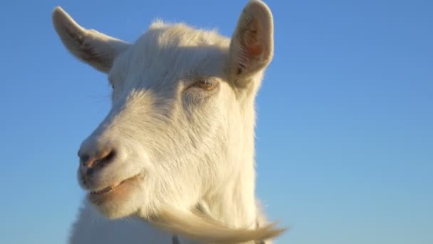 Animals, close-up of a goat