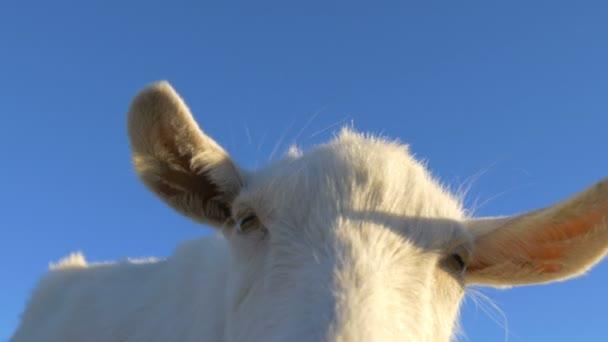 Vtipná koza otočí hlavu a podívá se do kamery