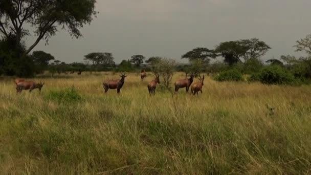 Topi antilopok csoportja Erzsébet királynő Nemzeti Parkban, Uganda.