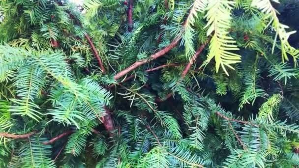 Beautiful branch of evergreen spruce. Pine tree. Selective focus.