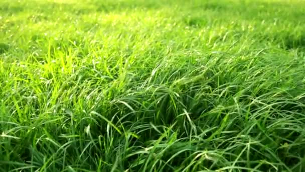Blades of grass blowing in the wind, Close up. Summer fresh wind slow motion. Save the earth concept