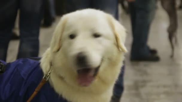 Attivo E Giocoso Labrador Pronto Per Lesercizio Al Centro Di