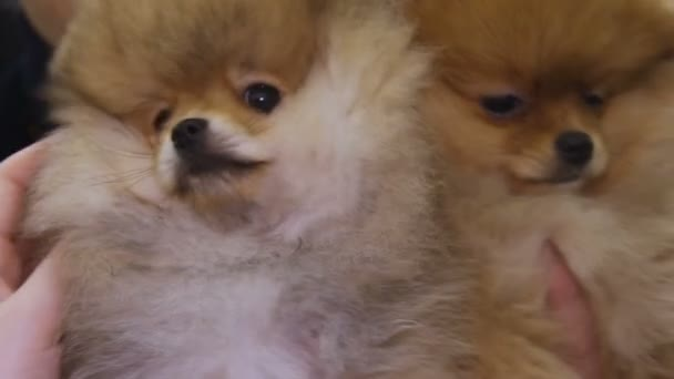 Fantastic Pomeranian Canine Adorable Dog - depositphotos_154041264-stock-video-couple-of-adorable-pomeranian-dogs  Trends_455342  .jpg
