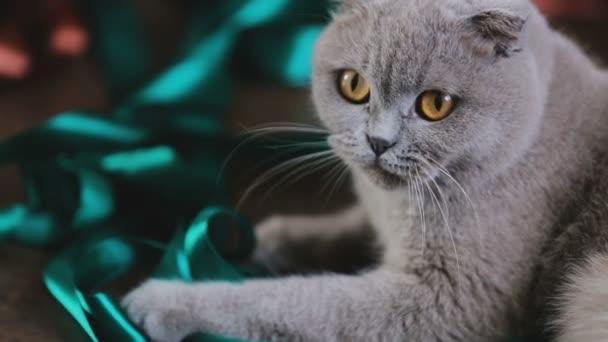 Iskoç Fold Gri çok Güzel Kedi Renk Kurdele Ile Yerli Evde Beslenen
