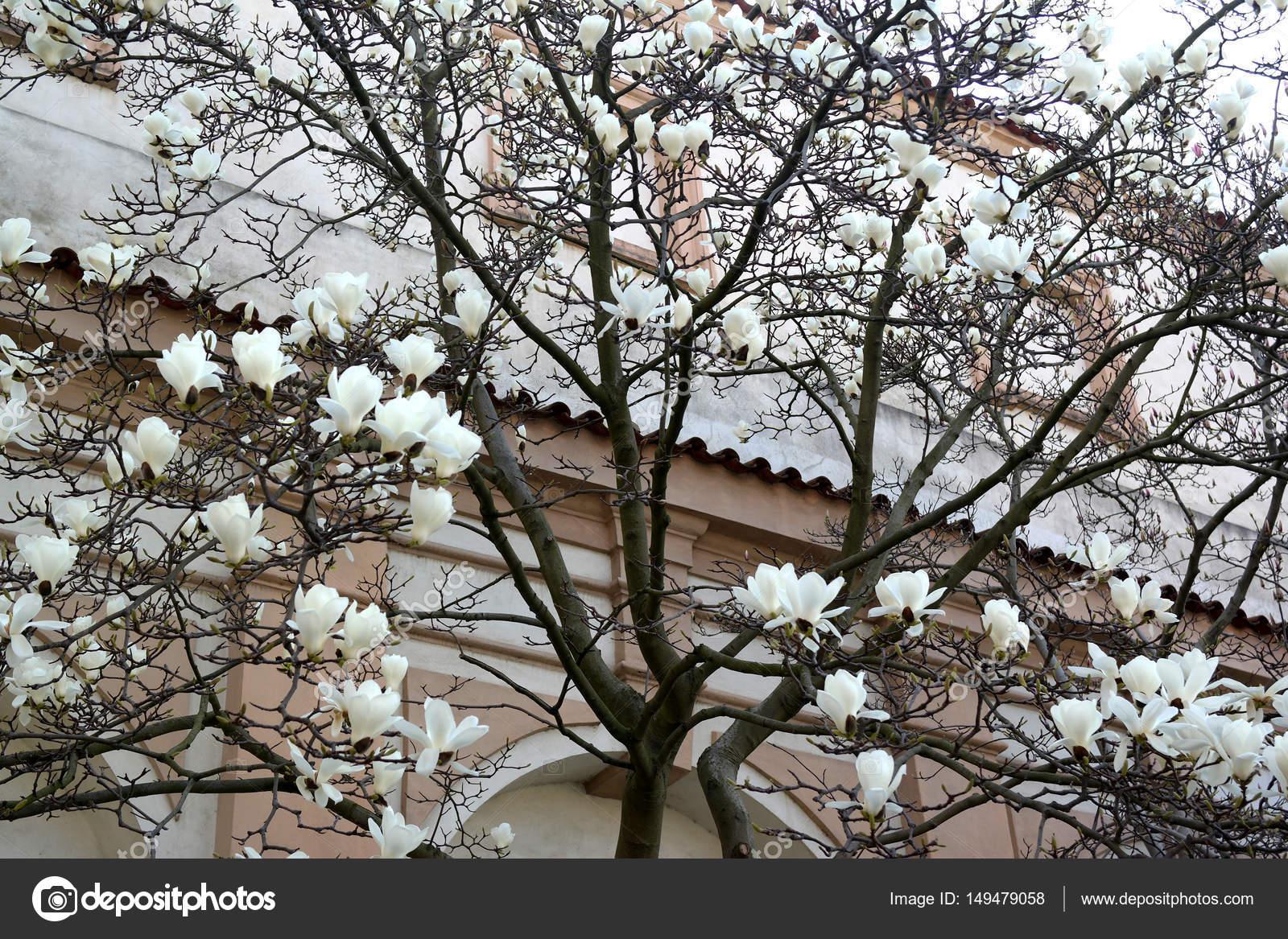 Magnolia Arvore O Inicio Da Floracao Stock Photo C Snegok1967 149479058