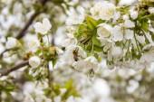 Včela sbírá pyl na stromě