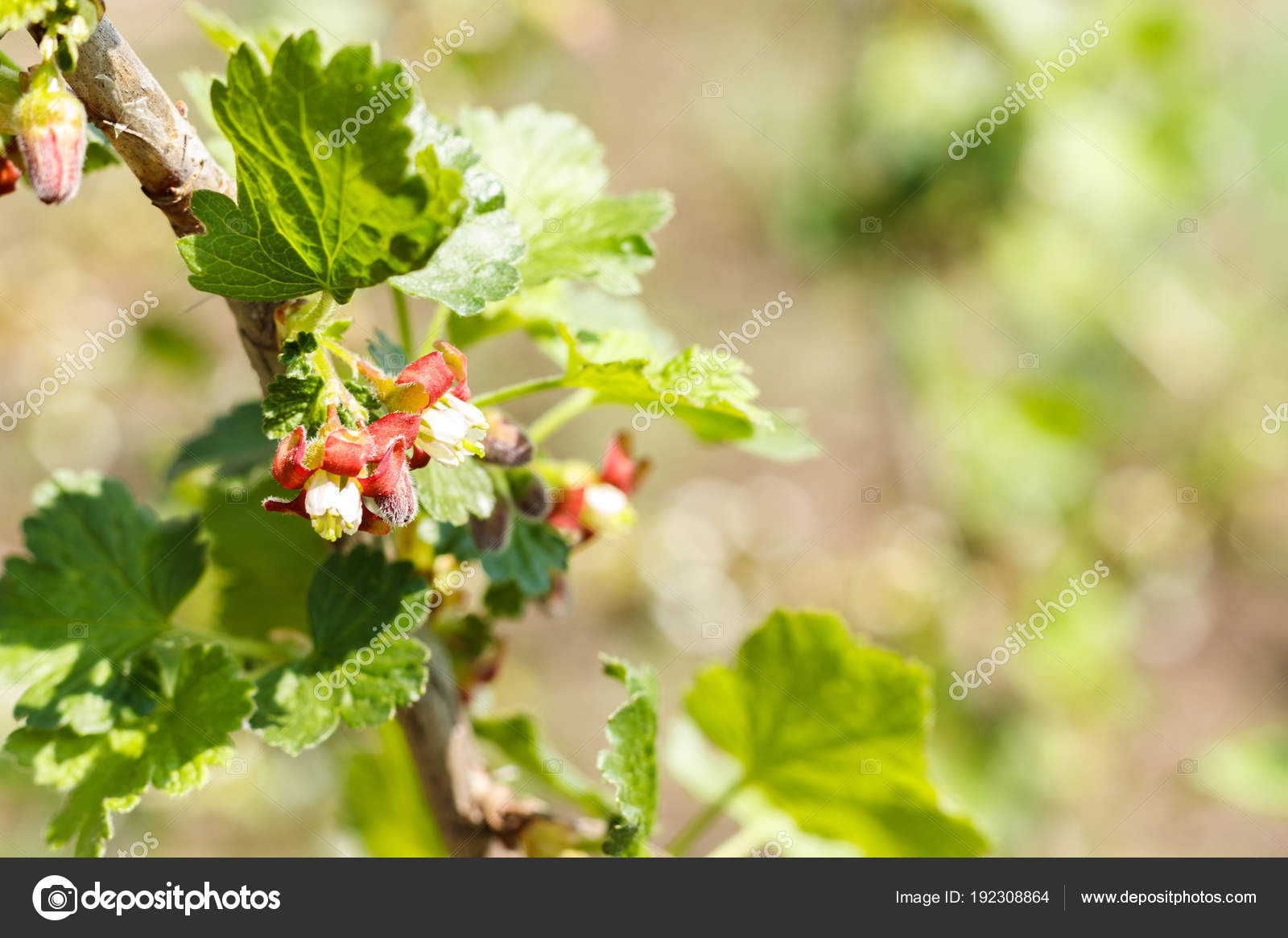 Pink Flowering Currant Currant Begins To Bloom Stock Photo