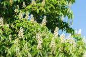 Kvetoucí kaštany proti modré obloze na slunečný den