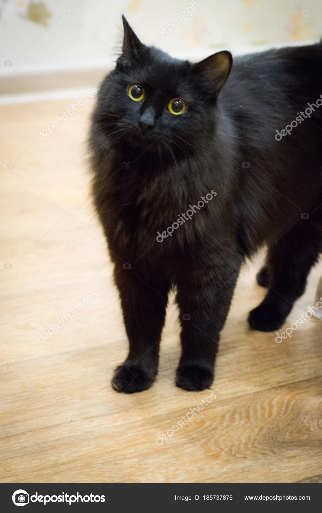 Ojo Gato Preto El Gato Negro Con Ojos Amarillos Foto De