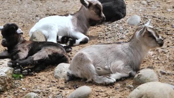 Niedliche Nahaufnahme von Ziegenbabys