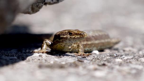 zblízka pohled na krásnou hnědou ještěrku na skále, selektivní zaměření