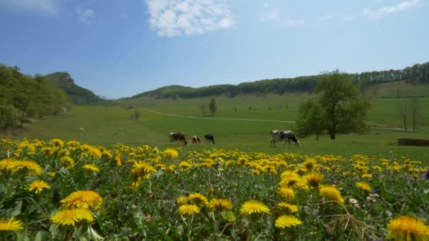 tehéncsorda legelészik a zöld réten dombokkal a láthatáron és virágzó sárga virágokkal előtérben napsütéses napokon