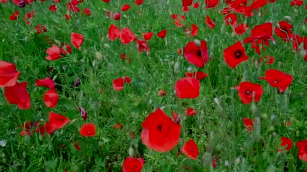 close-up view of beautiful red poppy flowers blooming on green meadow