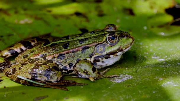 zblízka pohled na zelenou žábu v klidném rybníku