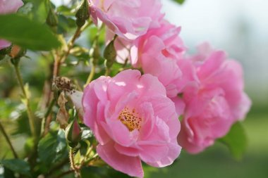 amazing blooming pink roses on garden background
