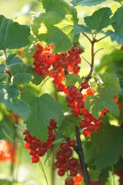 green bushes of ripe red currant berries on garden background