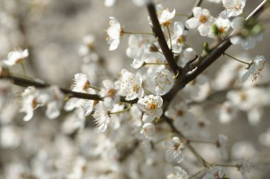 flowering apple fruit trees branches with white flowers in the orchard