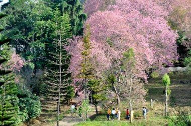 wild himalayan cherry or prunus cerasoides and pine tree
