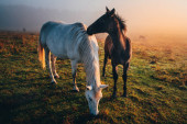 Fotografie Two horses in love grassing on calm morning autumn meadow