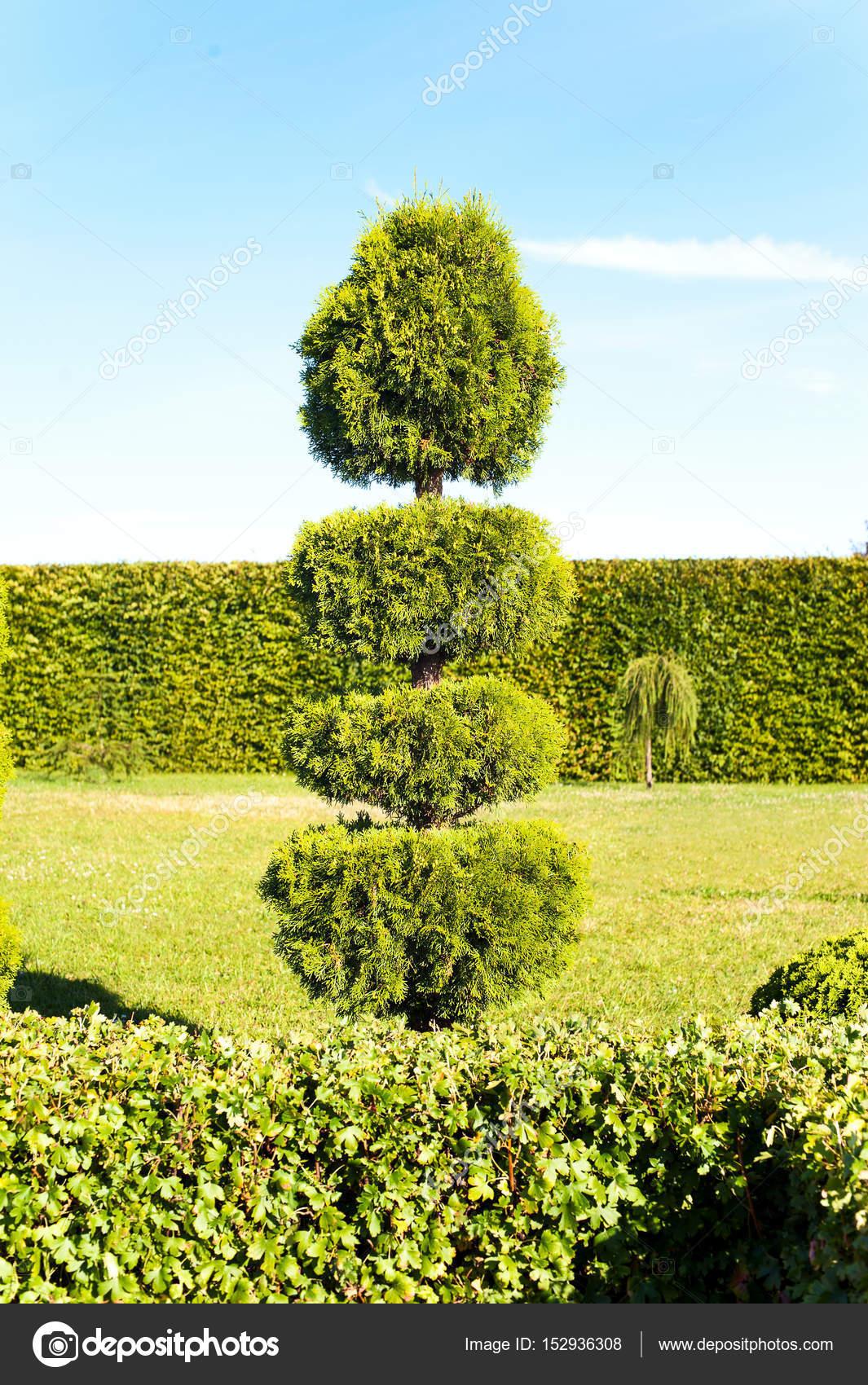 grün Thuja Hecke auf Hintergrund in ornamentalen garde — Stockfoto