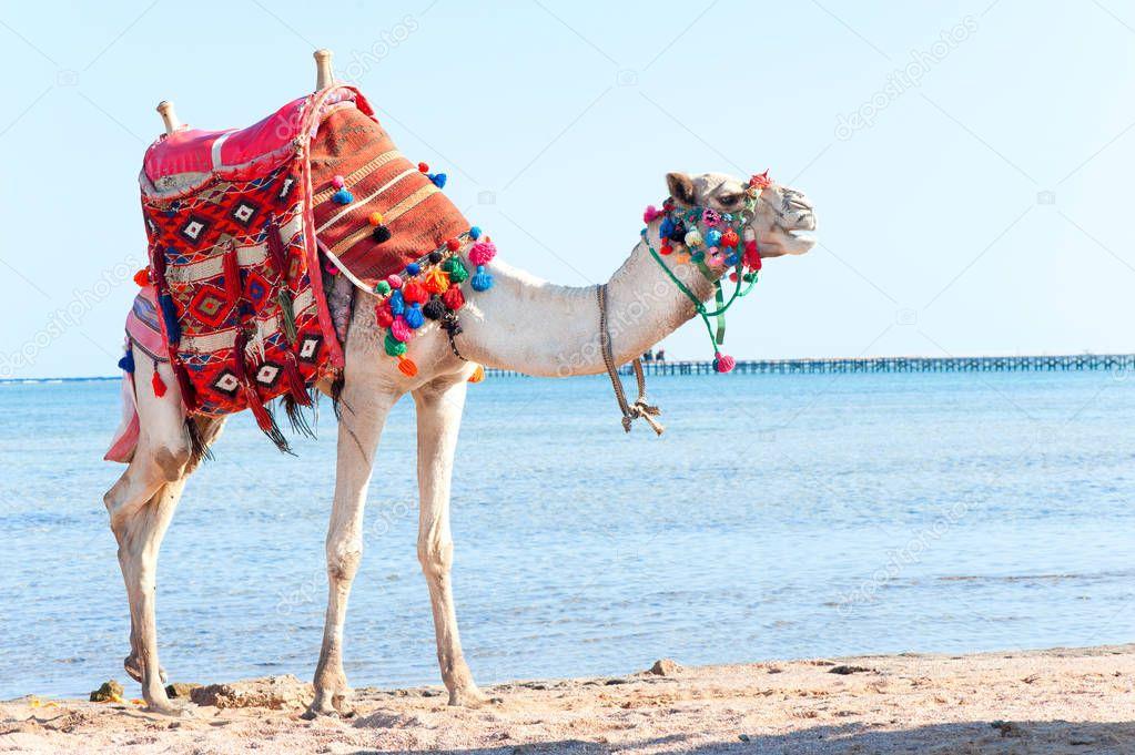 White camel standing on the Egyptian beach.Camelus dromedarius.