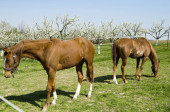 Fotografie koně v poli