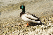 mallard duck on the lake