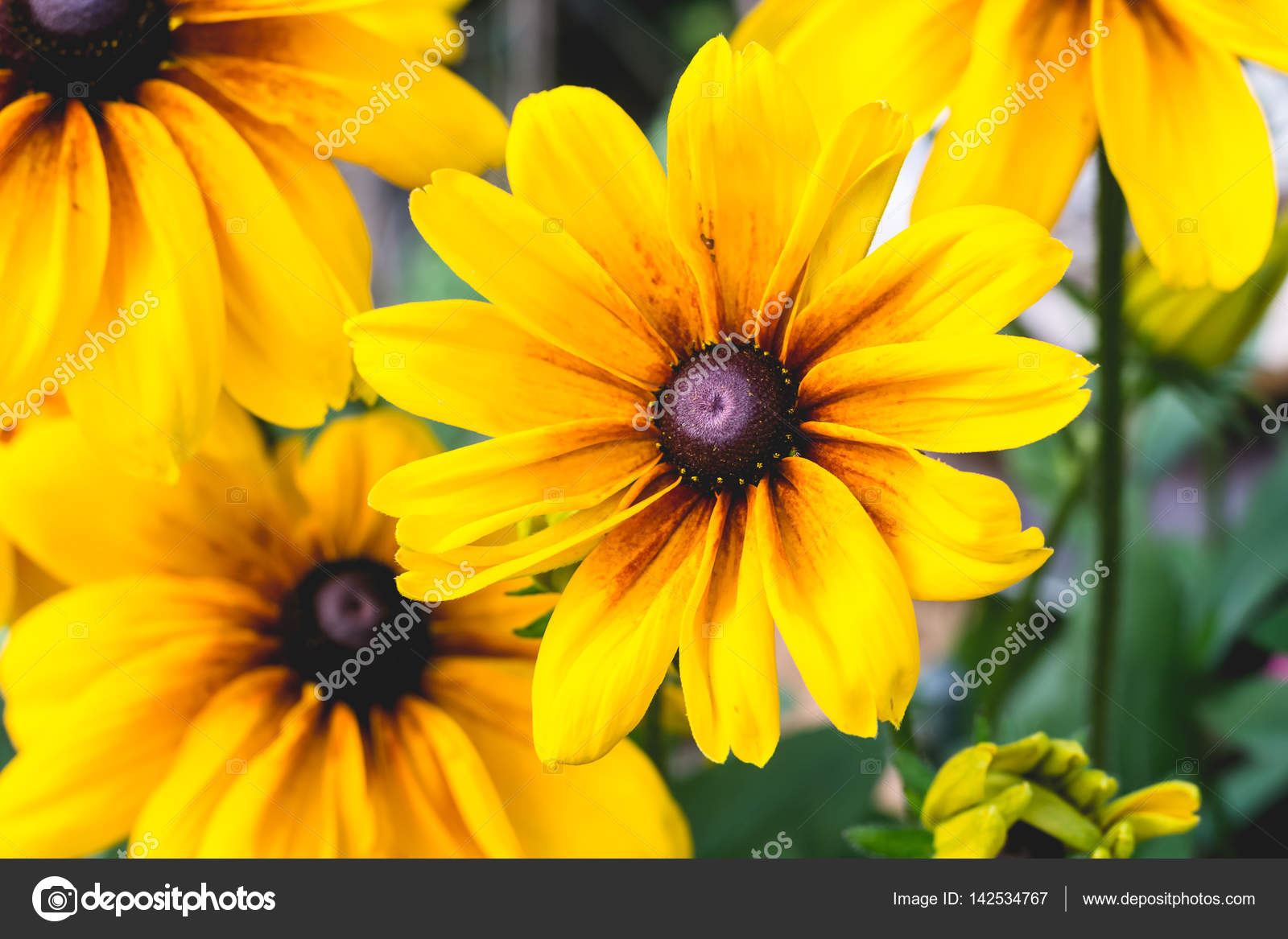 Close up yellow flowers stock photo funkenschlag 142534767 close up cropped image of black eyed susan flowers with yellow leaves and dark center full frame image photo by funkenschlag mightylinksfo