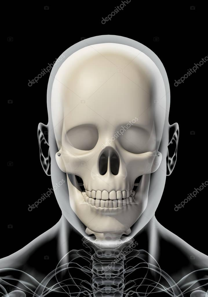 Ilustración 3D de anatomía cráneo - parte del esqueleto humano ...