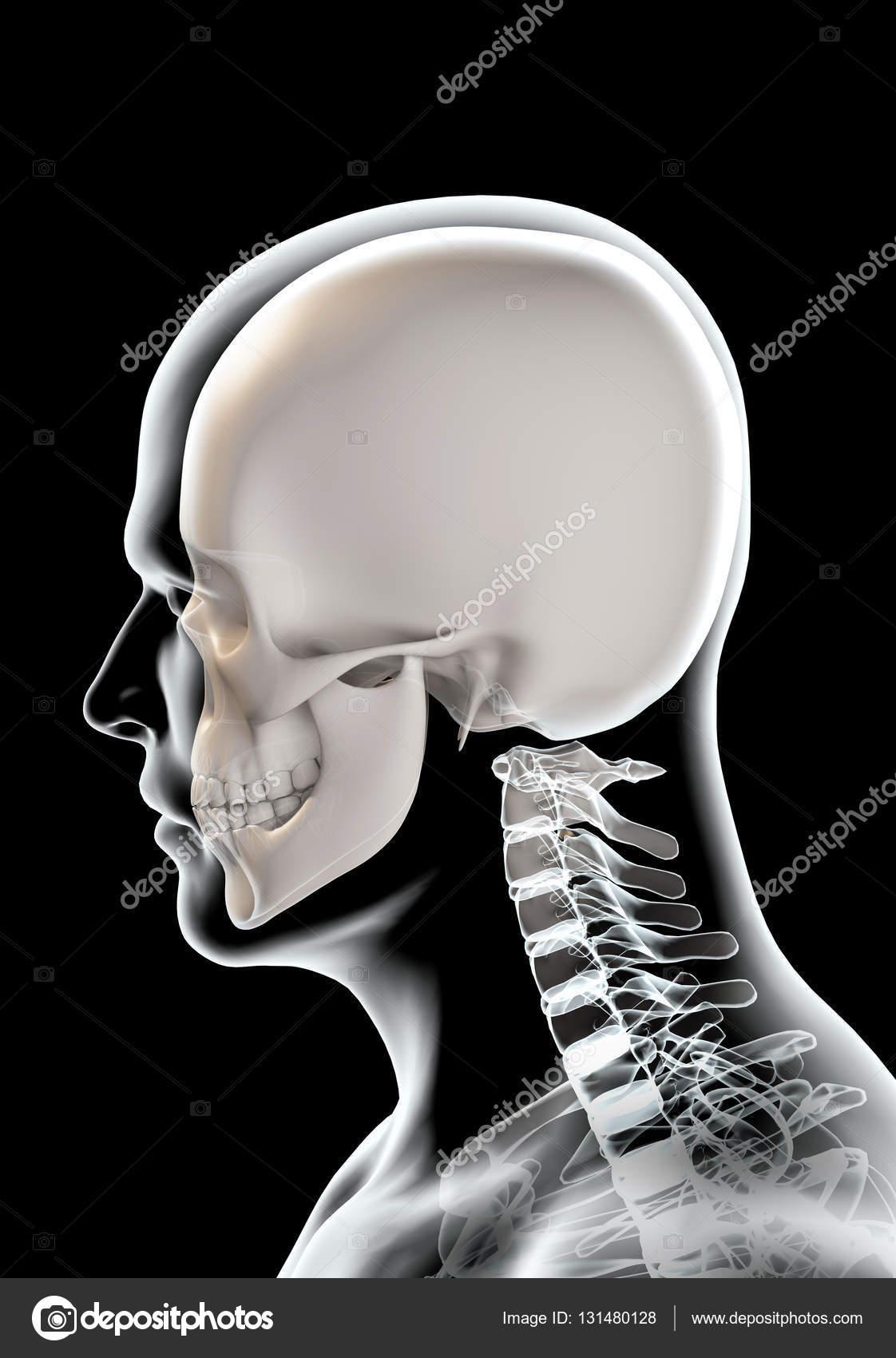 3D illustration of skull anatomy - part of human skeleton. — Stock ...