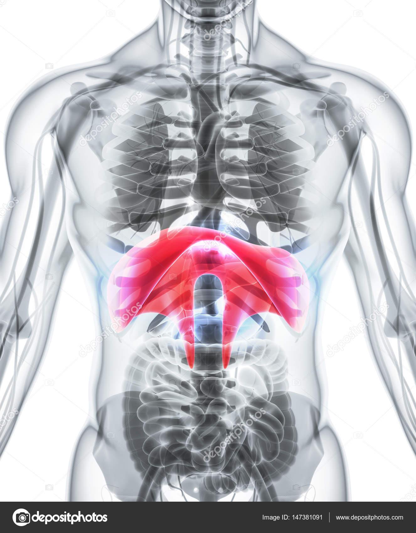 3d Illustration Of Diaphragm Medical Concept Stock Photo