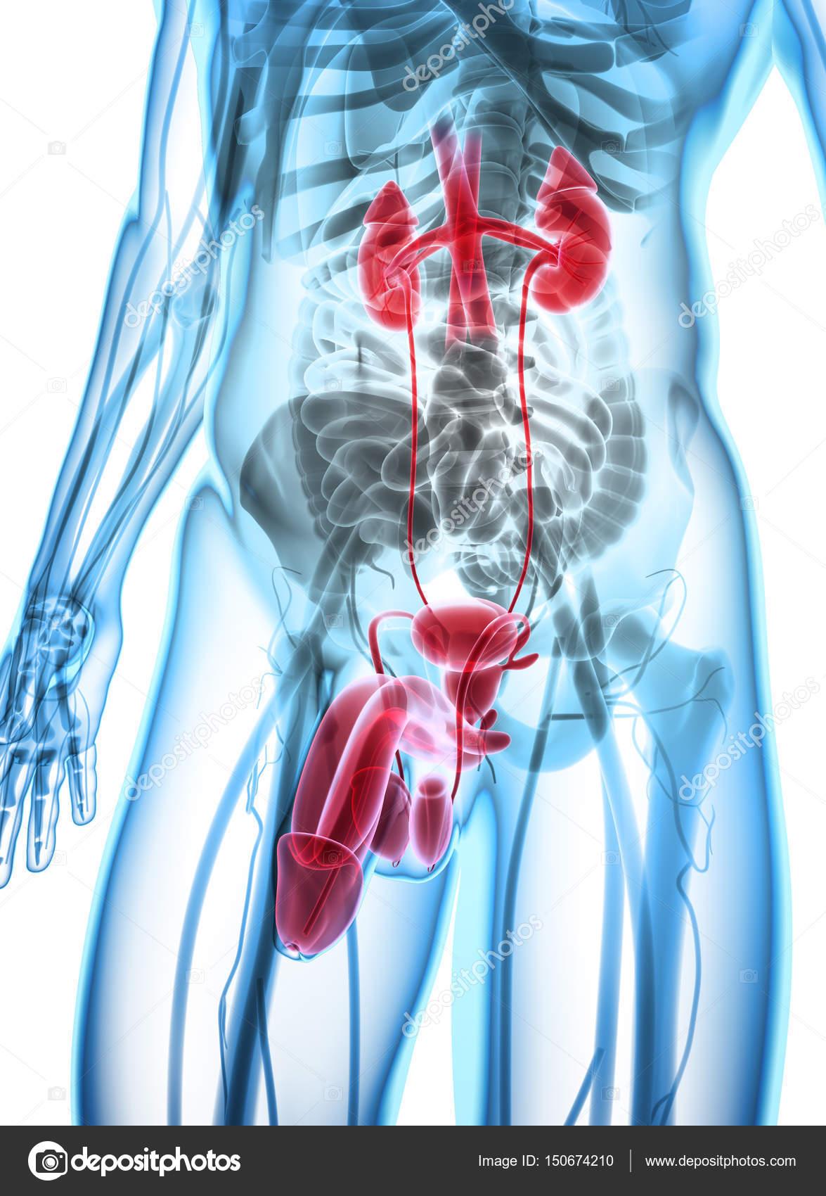 Ilustración 3D del sistema urinario, concepto médico — Foto de stock ...
