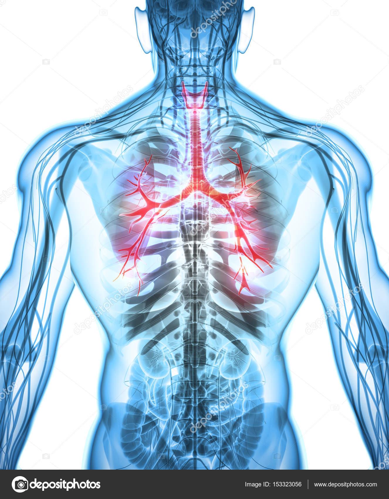 3d Illustration Of Larynx Trachea Bronchi Stock Photo Yodiyim