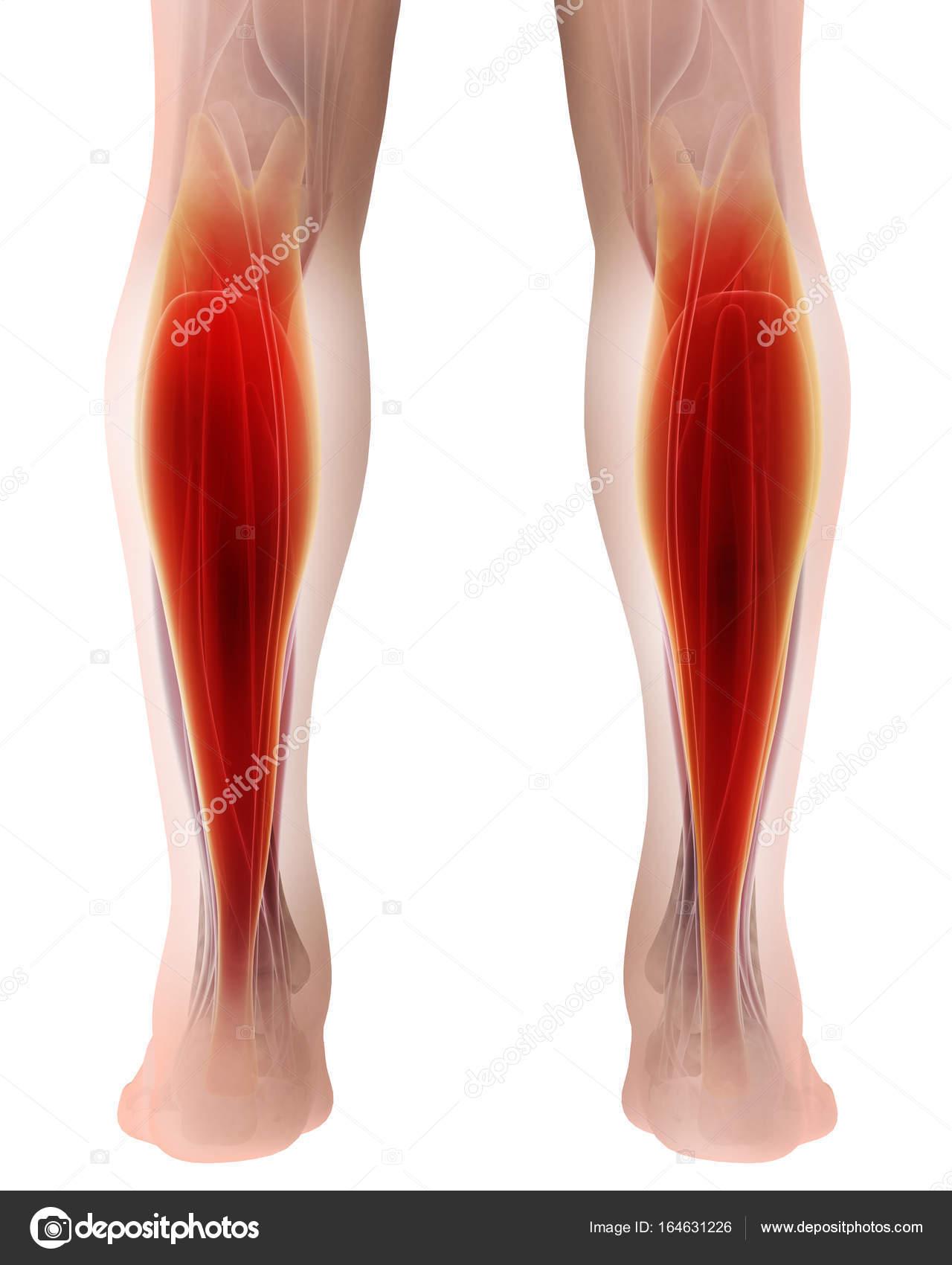 3D Darstellung der Gastrocnemius, Teil der Beine Muskel Anatomie ...